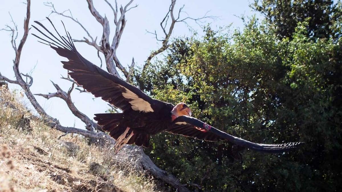 Photo from the Ventana Wildlife Society.